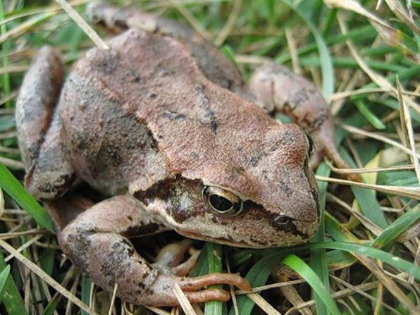 Лягушка. Лягушки и жабы - помощники в наших садах