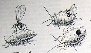 Наездник афелинус и тля. Полезные насекомые наездники – паразиты вредителей.