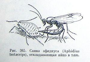 Афидиус. Полезные насекомые наездники – паразиты вредителей.