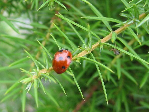 Божья коровка и паук на можжевельнике. 7 советов о земле (почве) из личного опыта.
