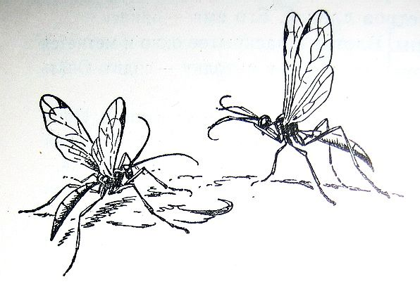 Паниски. Полезные насекомые наездники – паразиты вредителей.