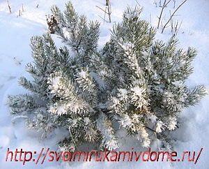 Сосна горная зимой