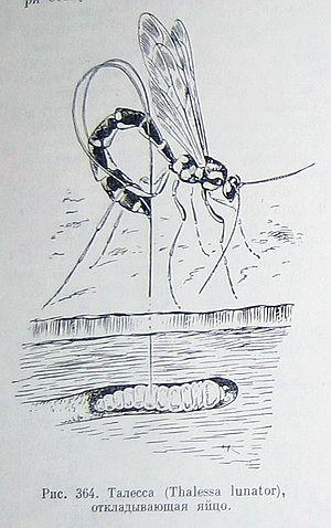 Талесса. Полезные насекомые наездники – паразиты вредителей.