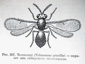 Теленомус. Полезные насекомые наездники – паразиты вредителей.