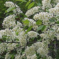 Черёмуха обыкновенная цветёт