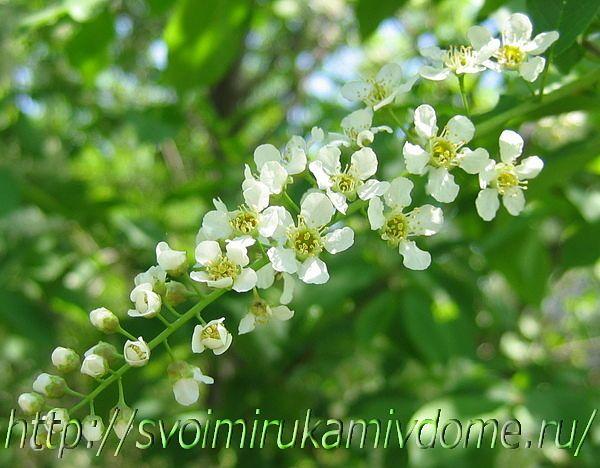 Черёмуха цветёт