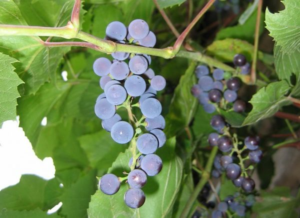 Грозди винограда. Неукрывной виноград