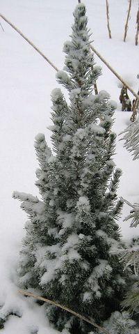 Ель-коника зимой