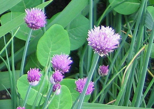Шнитт-лук среди растений