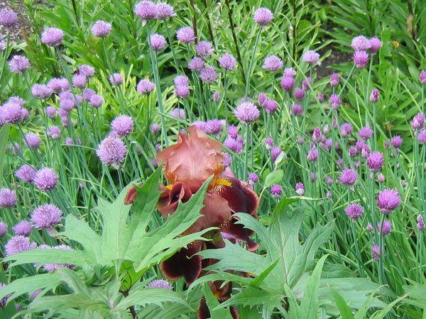 Шнитт-лук среди цветов