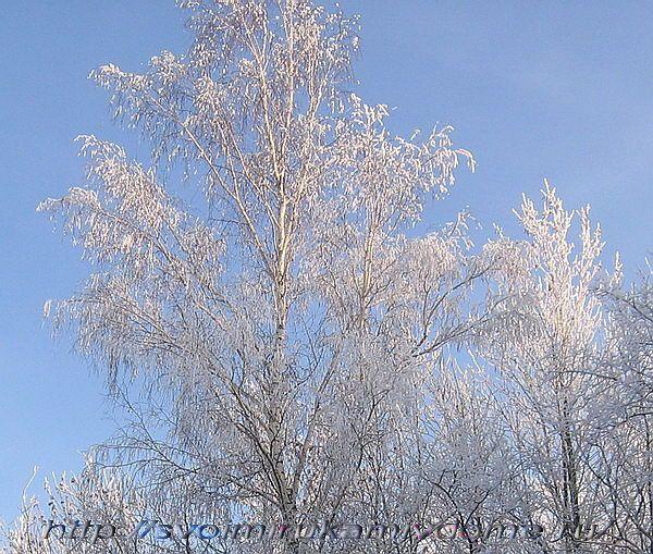 Берёза зимой