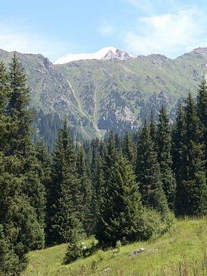 Ели в горах