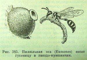 Пилюльная оса с гусеницей.