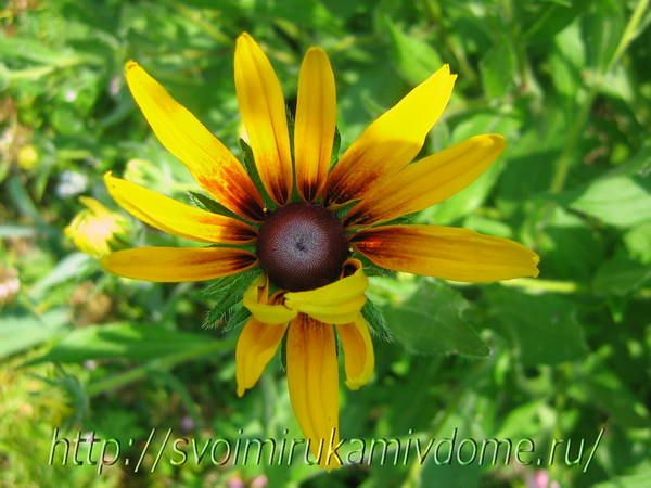 Цветок рудбекии распускается