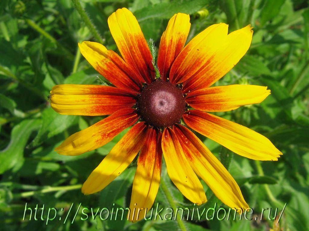 Цветок рудбекия. фото