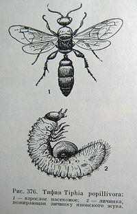 Tiphia popillivora