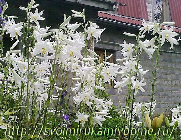 Цветник с лилиями