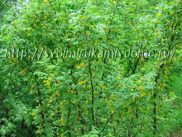 Акация желтая цветёт