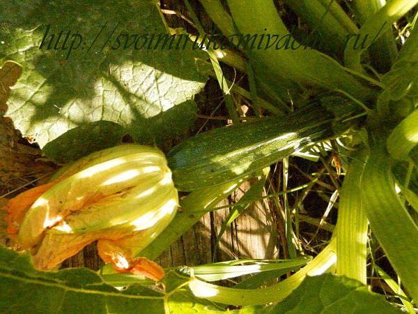 Кабачок цуккини с цветком. Кабачки  - полезные овощи