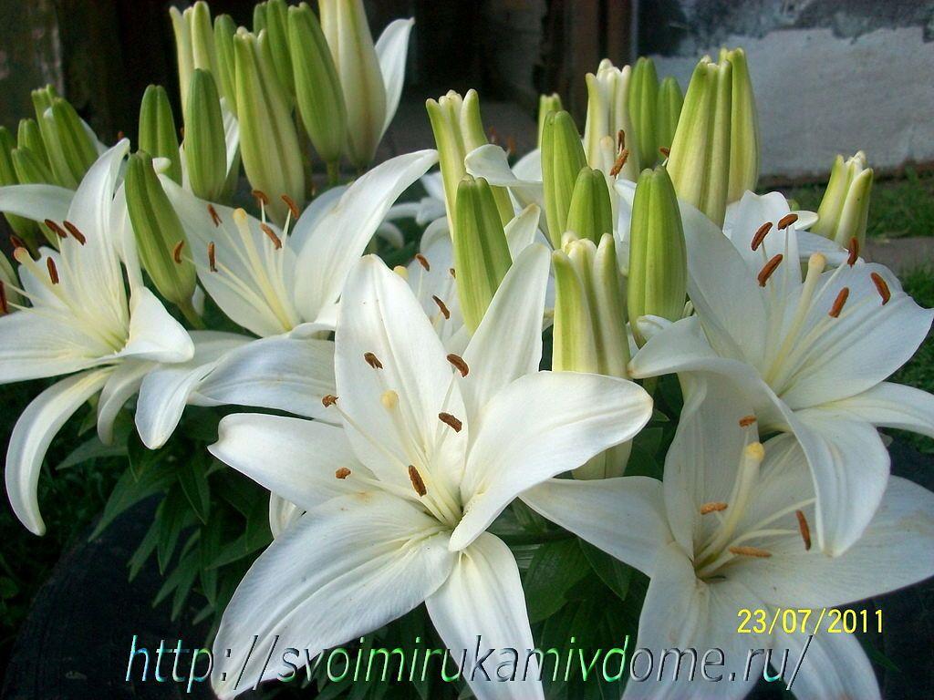 Белые лилии с бутонами. Фото садовых цветов и лягушки с Дальнего Востока