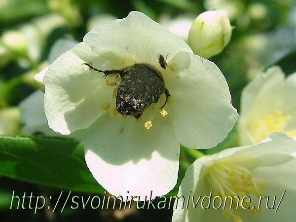 Бронзовка мохнатая на чубушнике. Чубушник – фото