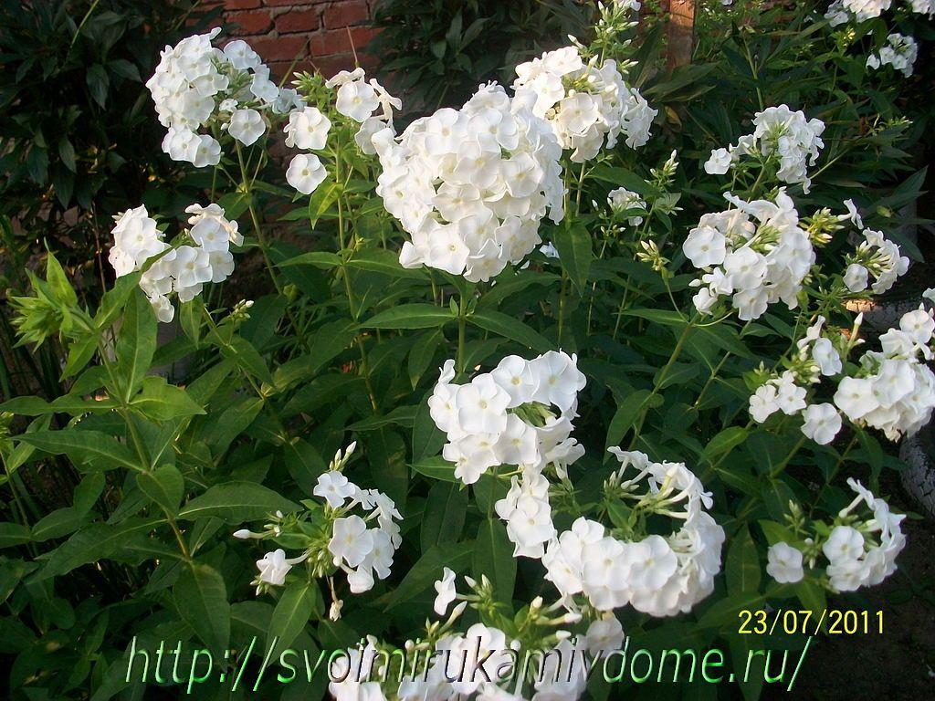 Флоксы белые. Фото садовых цветов и лягушки с Дальнего Востока