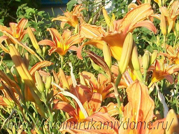 Лилейник. Фото садовых цветов и лягушки с Дальнего Востока