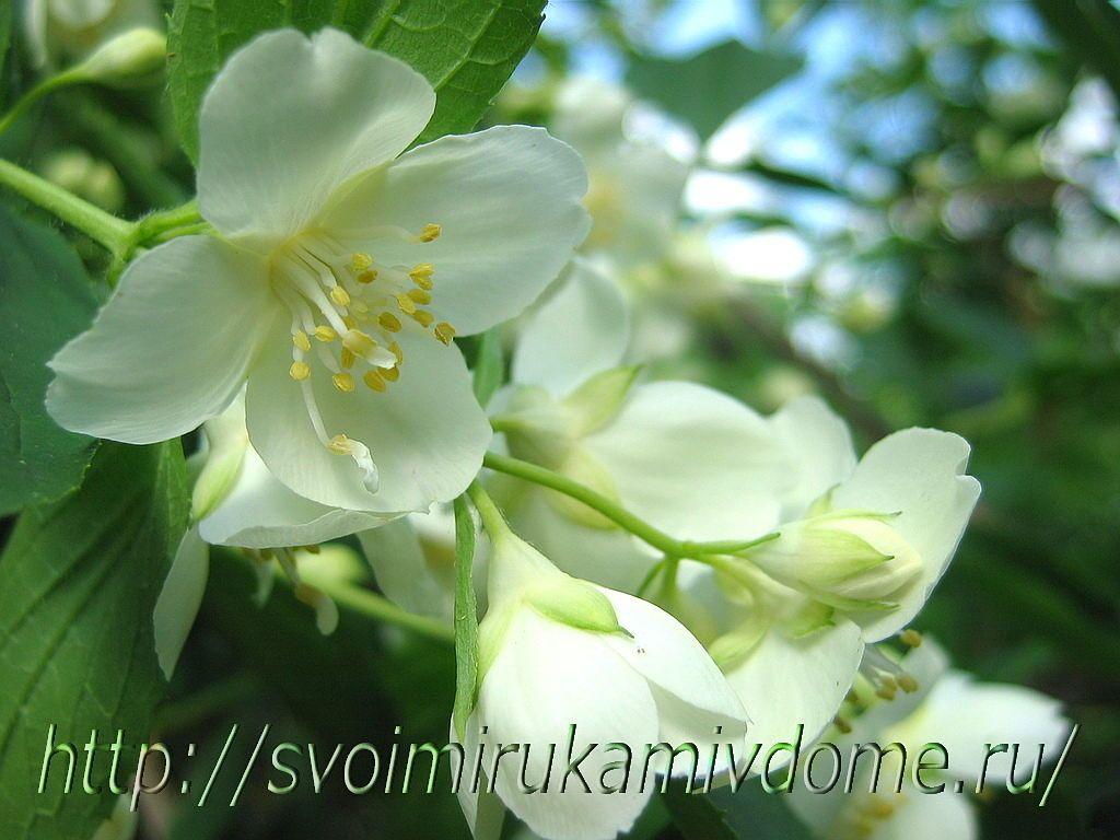 Цветки чубушника. Чубушник – фото