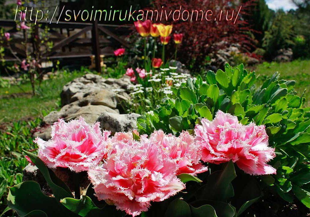 Тюльпаны Maskott. Тюльпаны - фото из Анапы