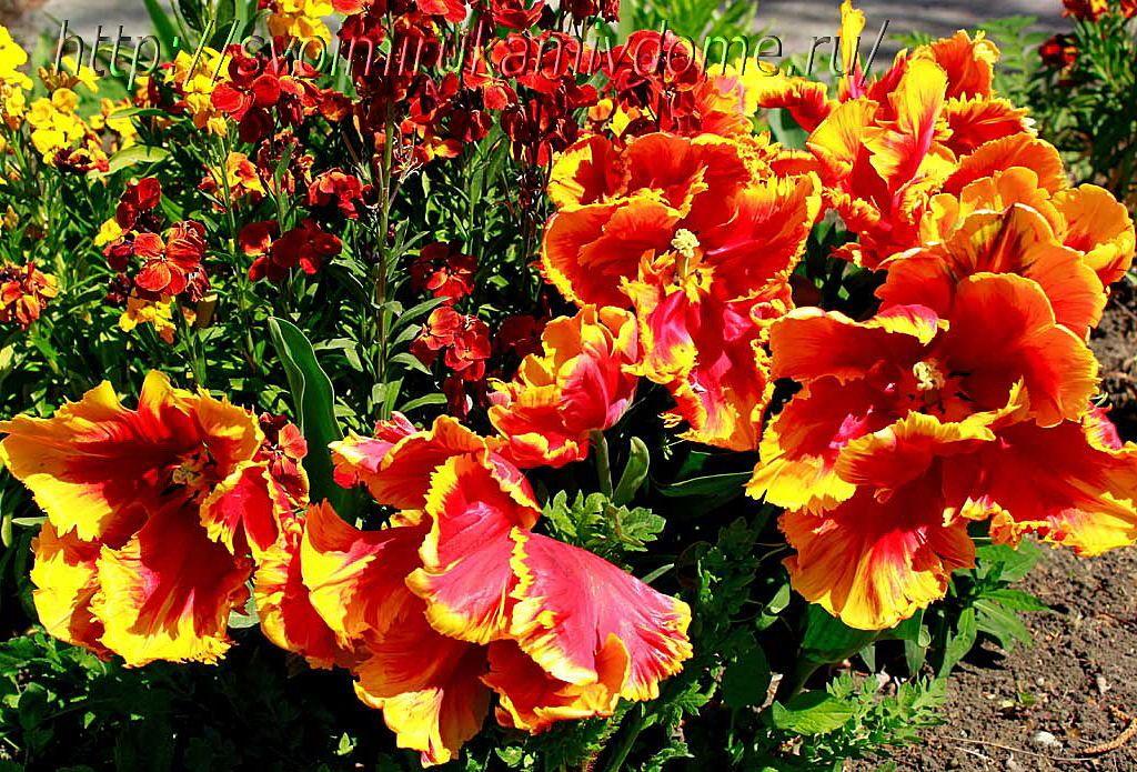 Тюльпаны Texas Flame. Тюльпаны - фото из Анапы