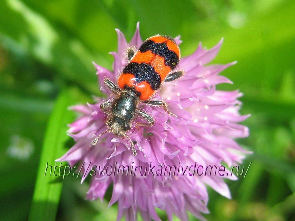 Пчеложук рода Trichodes