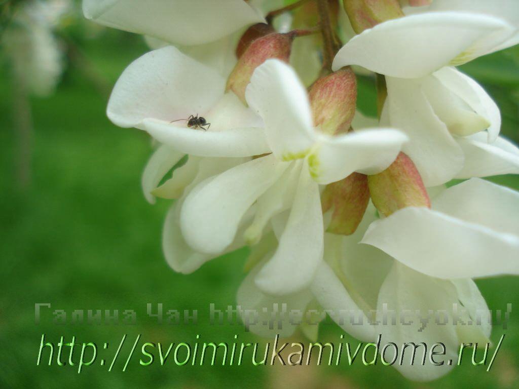 Кисть белой акации. Цветущие растения – фото из Владивостока