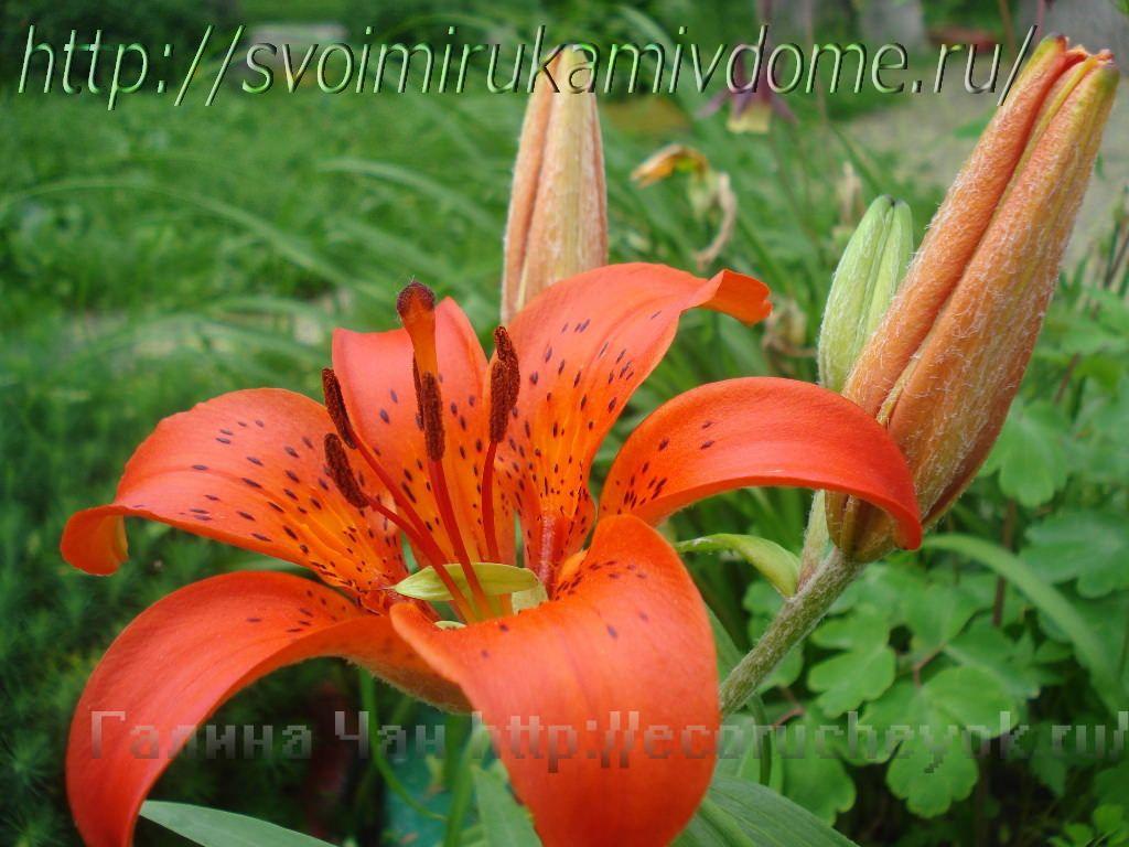 Лилия тигровая. Цветущие растения – фото из Владивостока
