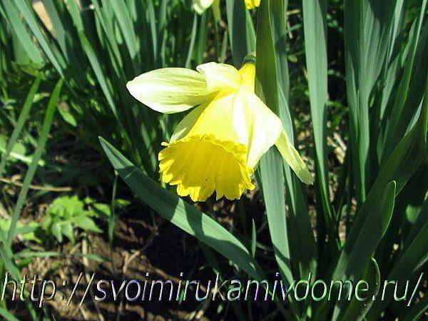Нарцисс жёлтый. Цветы и бабочки боярышницы из Вологодской области