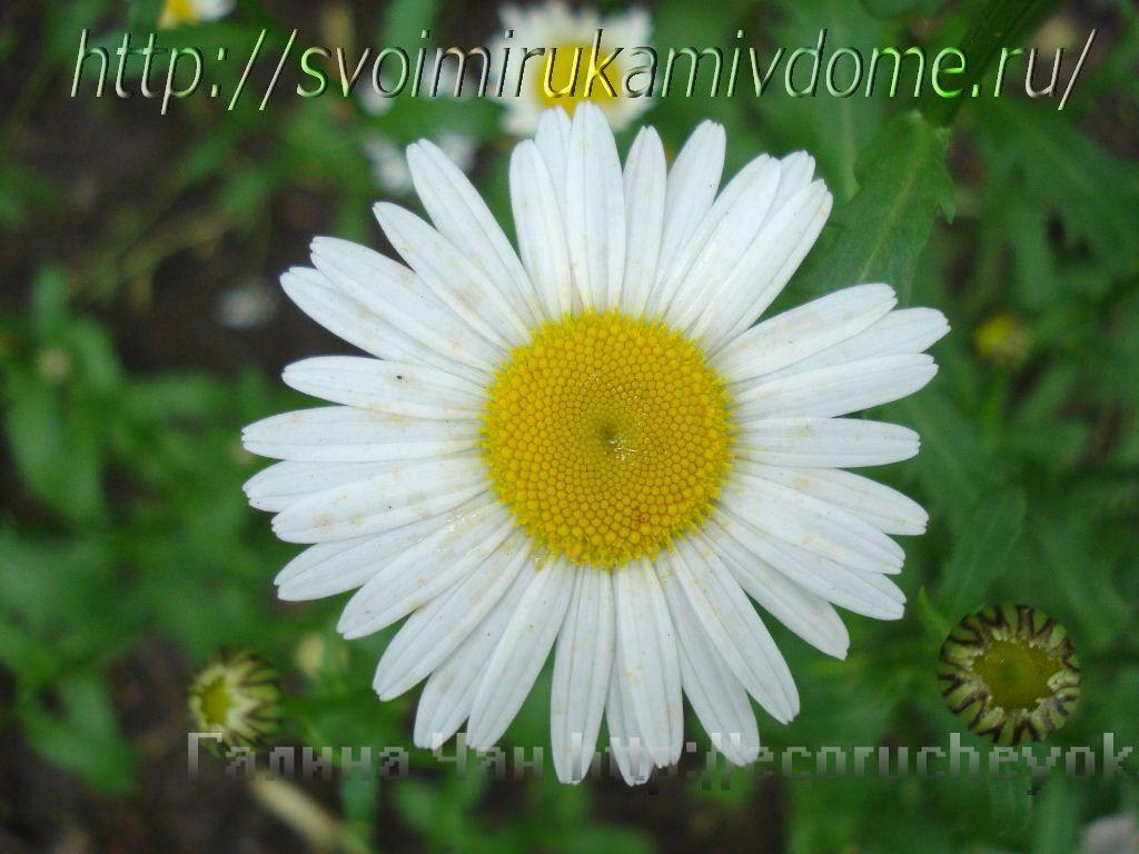 Нивяник. Цветущие растения – фото из Владивостока