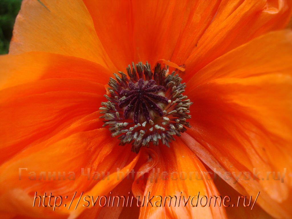 Цветок мака. Цветущие растения – фото из Владивостока