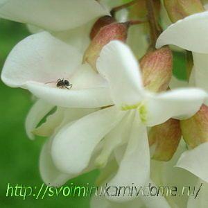 Цветок белой акации. Цветущие растения – фото из Владивостока