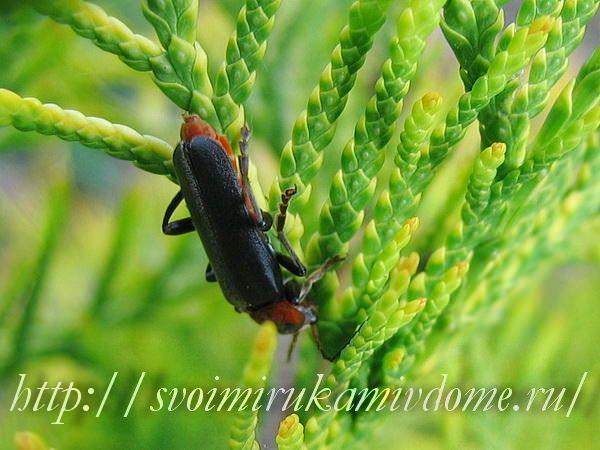Мягкотелка бурая (Cantharis fusca). Жук-пожарник или мягкотелка красноногая - полезное насекомое