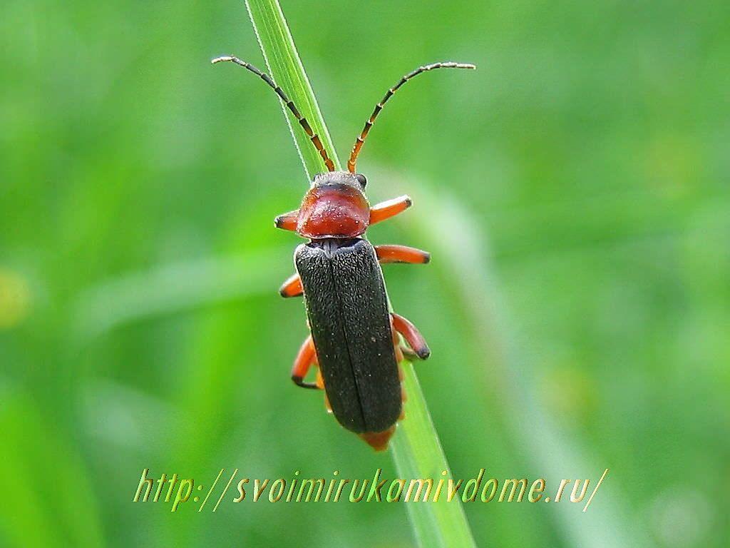 Мягкотелка красноногая (Cantharis rustica). Жук-пожарник или мягкотелка красноногая - полезное насекомое