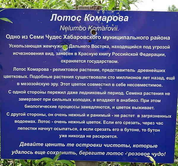 Лотос Комарова (Nelumbo Komarovii). Озеро лотосов в Хабаровске