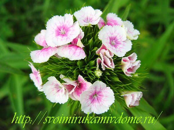 Белая с розовым гвоздика турецкая. Гвоздика турецкая – фото