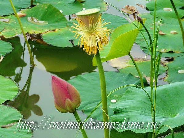 Коробочка с семенами и бутон лотоса. Озеро лотосов в Хабаровске