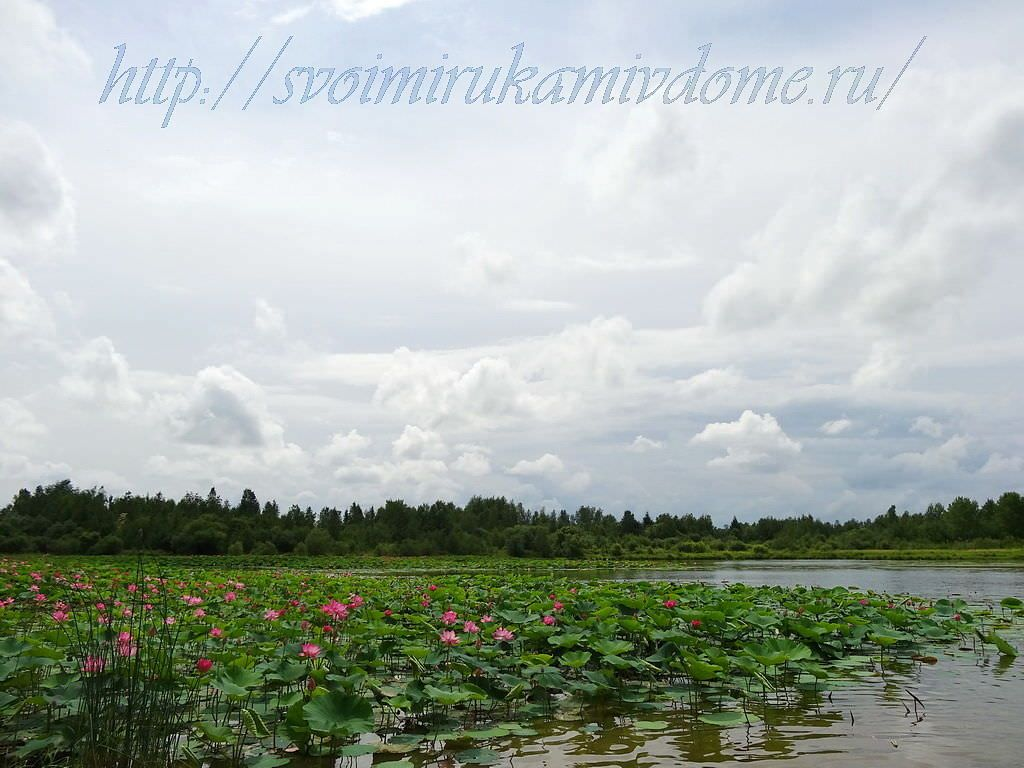 На озере лотосов. Озеро лотосов в Хабаровске