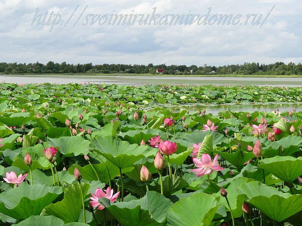 Озеро лотосов. Озеро лотосов в Хабаровске