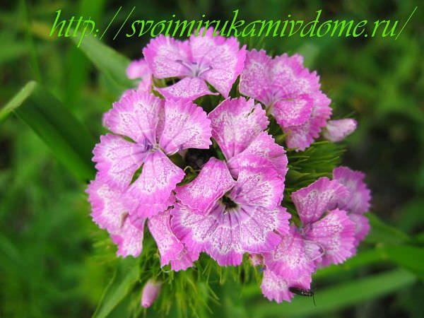 Розовая гвоздика турецкая. Гвоздика турецкая – фото