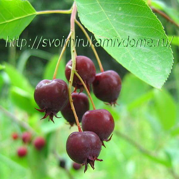 Спелые ягоды ирги. Ирга ягода – фото