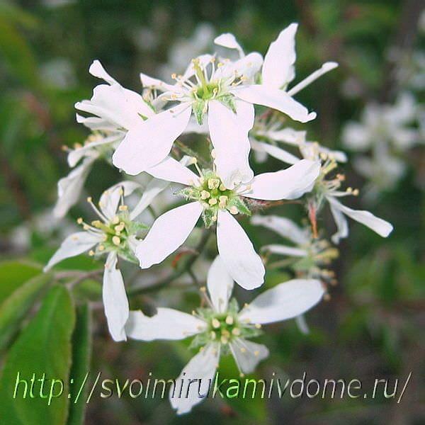Цветки ирги. Ирга ягода – фото