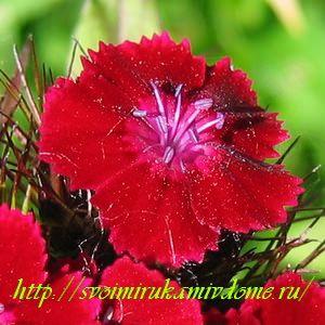 Цветок гвоздики турецкой. Гвоздика турецкая – фото