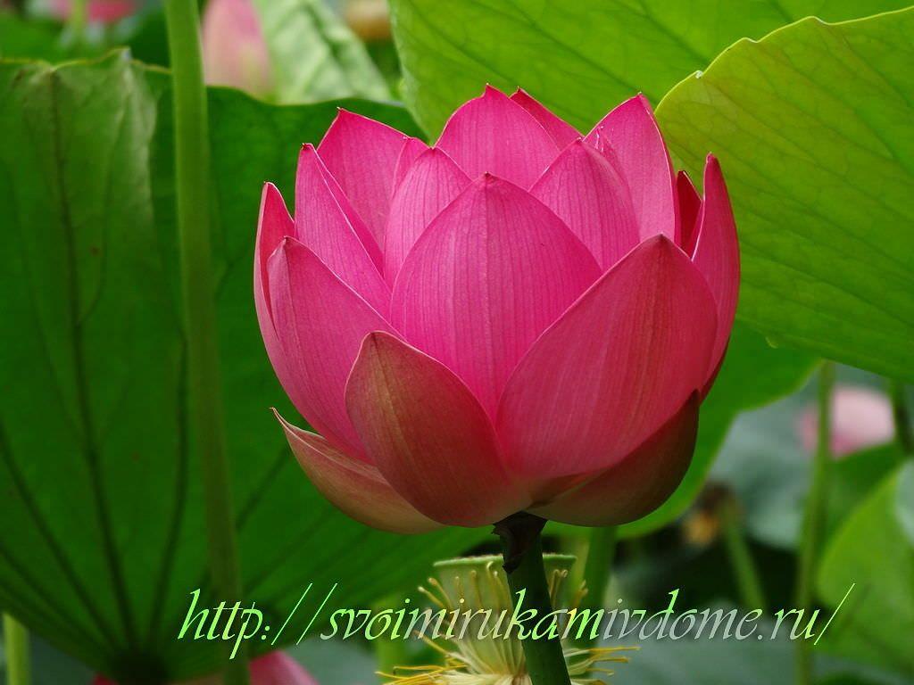 Цветок лотоса. Озеро лотосов в Хабаровске