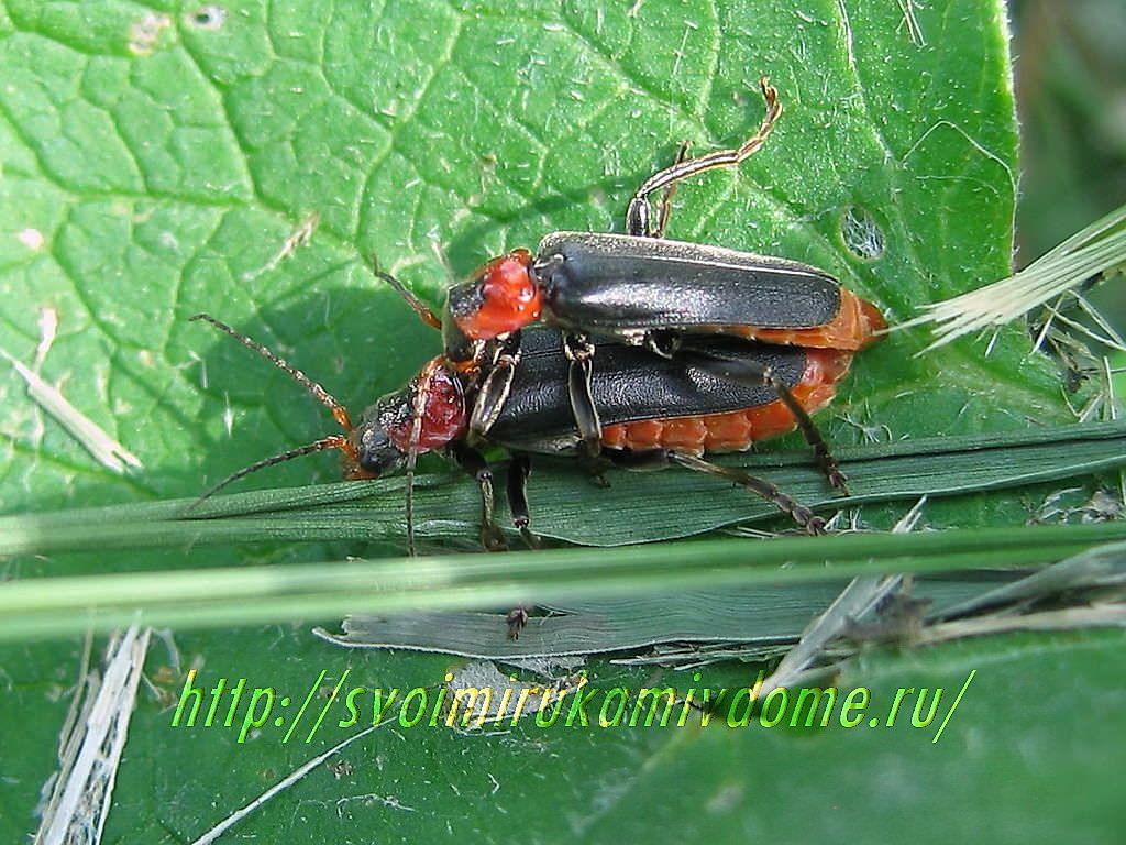 Жуки-пожарники. Жук-пожарник или мягкотелка красноногая - полезное насекомое